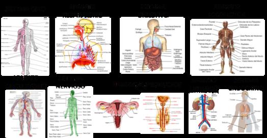 Los-sistemas-y-organos-que-componen-el-cuerpo-humano